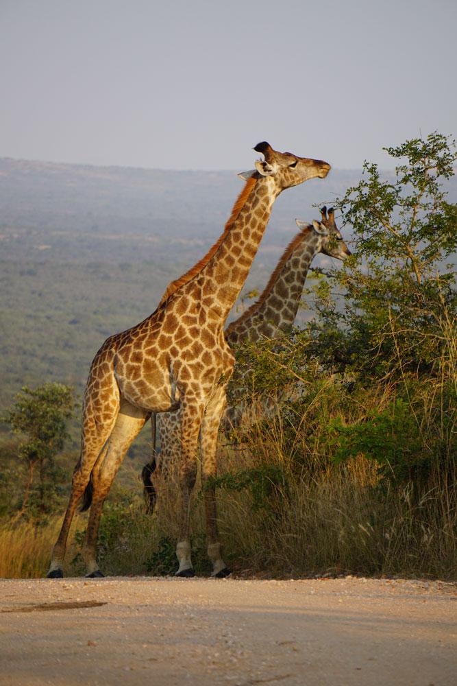 Giraffes, they're tall!