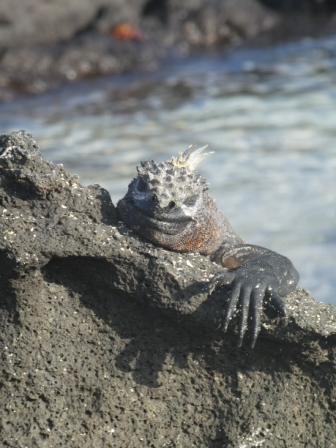 photo of Galapagos Marine Iguana for Galapagos photojournal on website Bush Telegraph XPress