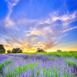 Mountainside Lavender