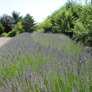 Barn Owl Nursery Herb & Lavender Farm