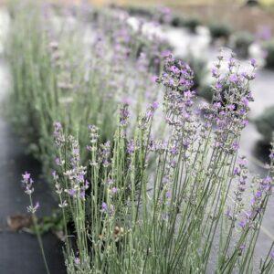 Lavender Ally Farms