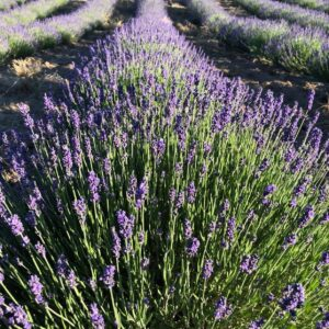 Lavender Ranch at East Wenatchee