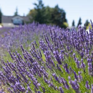 Jardin du Soleil Lavender Farm