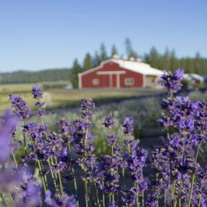 Evening Light Lavender Farm