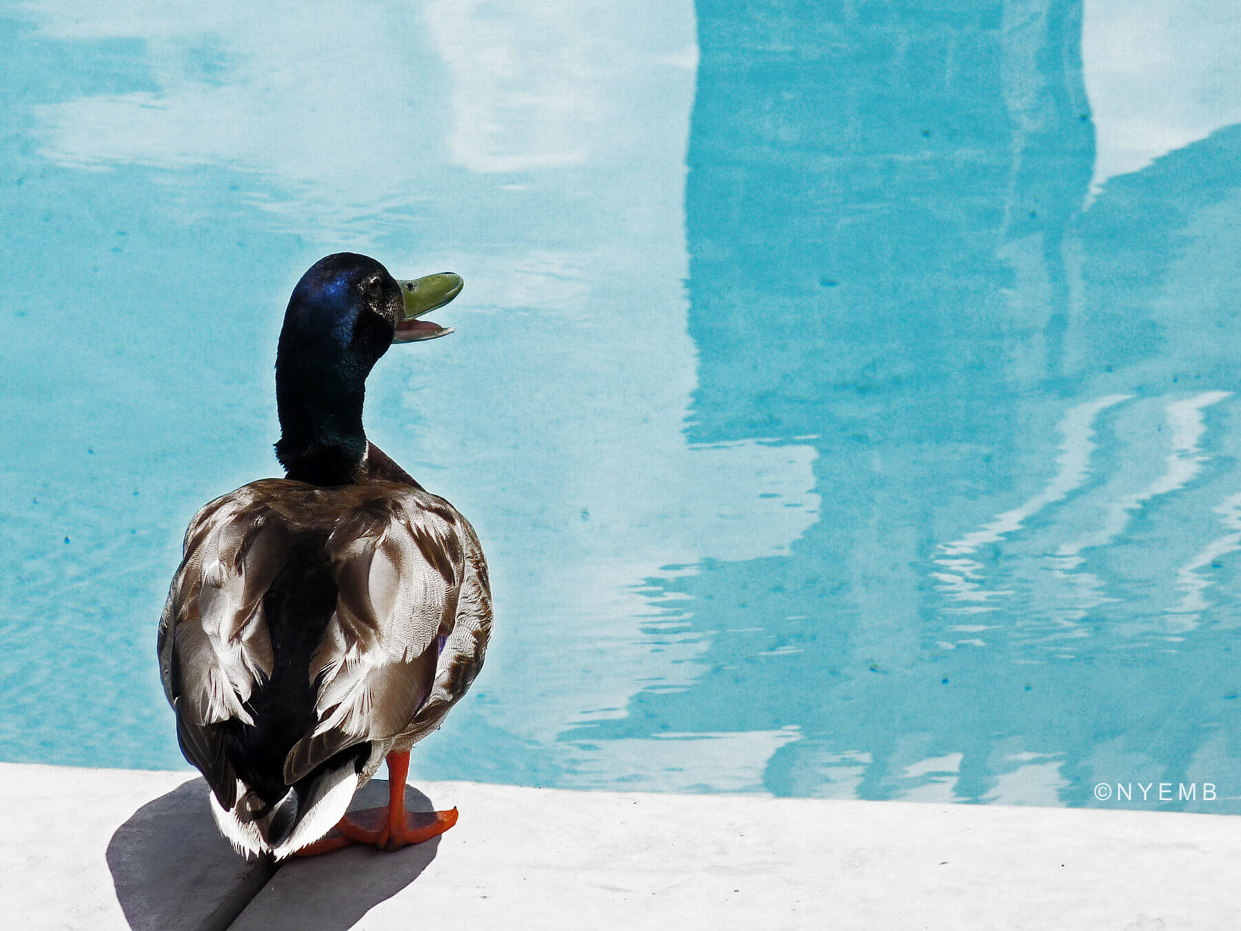 Tips and Tricks to Keep Ducks and Geese Out of Your Pool