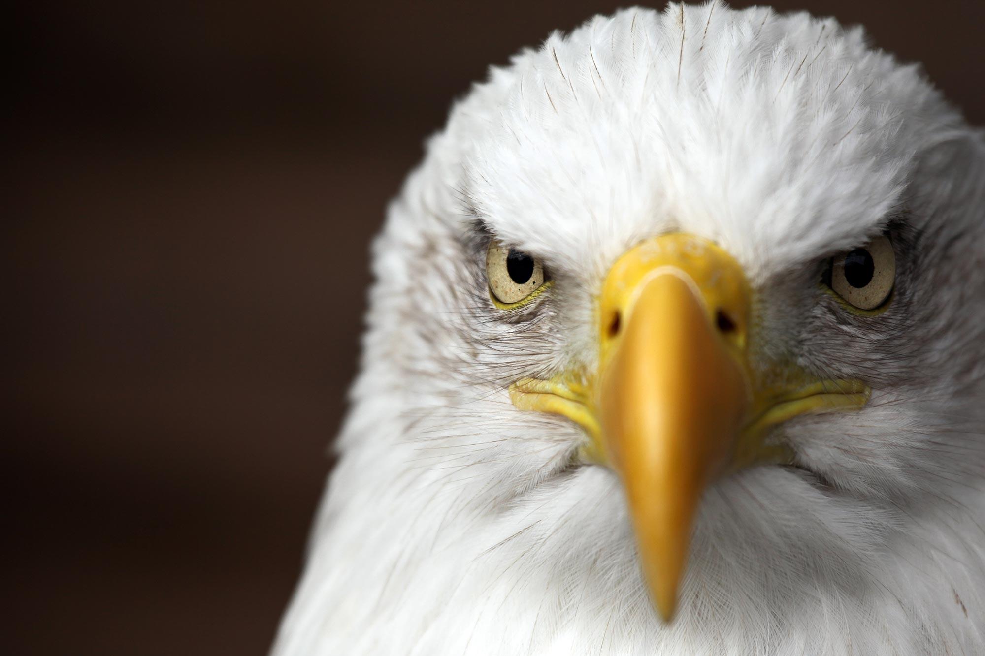 Bald-Eagle-Close-Up