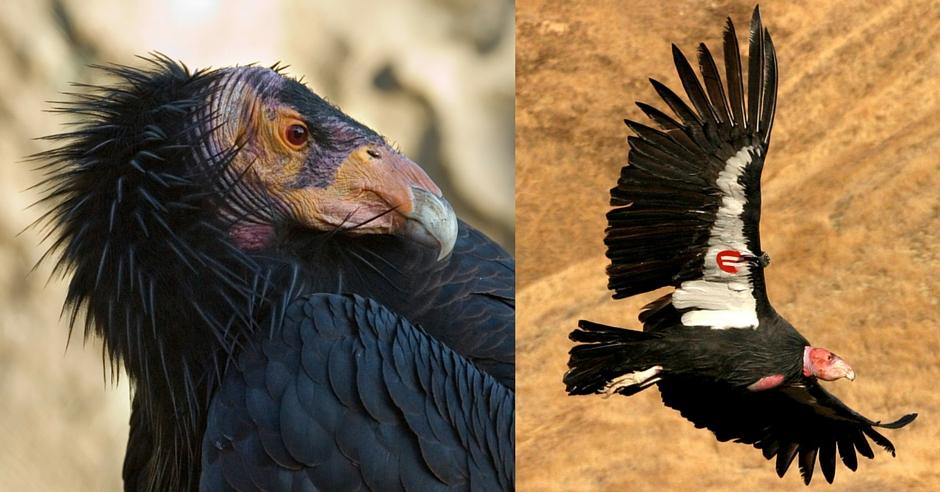 San Benito County Birds California Condor