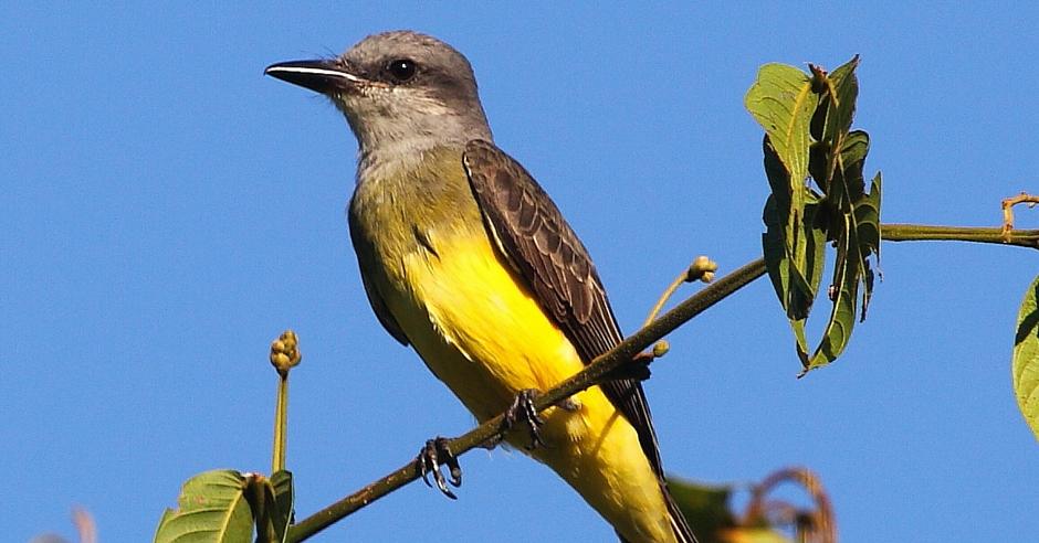 San Benito County Birds Tropical Kingbird