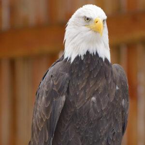 CDA-3297-Bald-Eagle-TW-Images-Bald-760x480