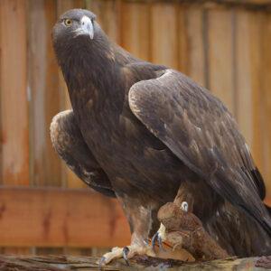 CDA-3297-Bald-Eagle-TW-Images-Golden-760x480
