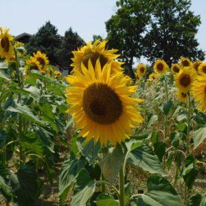 Sunflowers Cagli