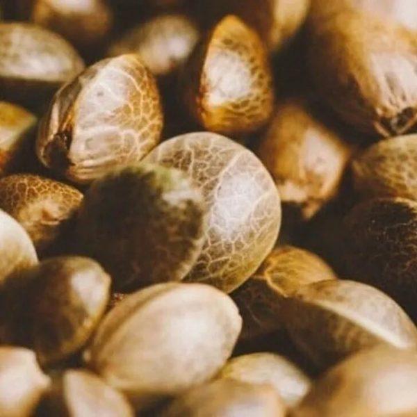 Bulk Earthquake CBD-CBG Hybrid Seeds