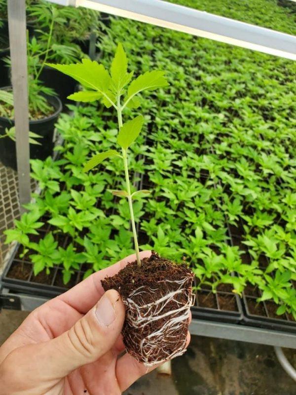 Wholesale CherryWife Feminized CBD Seeds