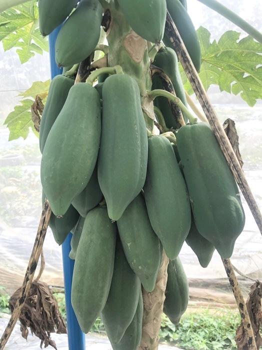 木瓜園栽種技術課程-台南青農聯誼會