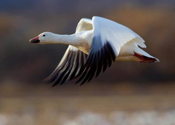 Despite Climate Challenges California Waterfowl Continue to Thrive