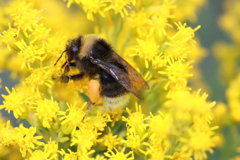Bumblebee Species Possible Listing as Endangered Further Threatens California Ag