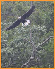American Bald Eagle photographed by Tom Allen on the north shore just across from Sunset Marina on Sept. 10, 2010.
