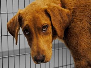 sad-brown-dog