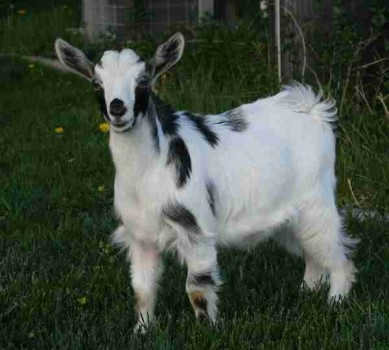 Bells Goats Little Mac