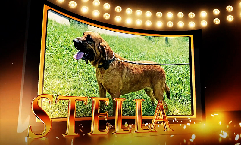 Bloodhound Stella Wins Top AKC Award in Uniformed Services K9 Division