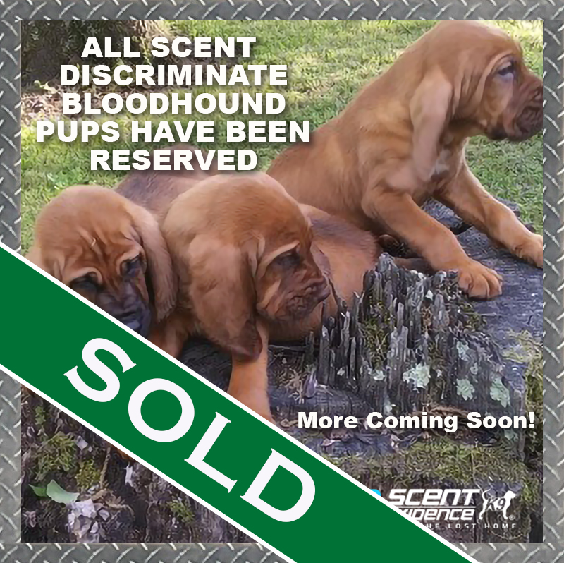 Bloodhound Pups Sold