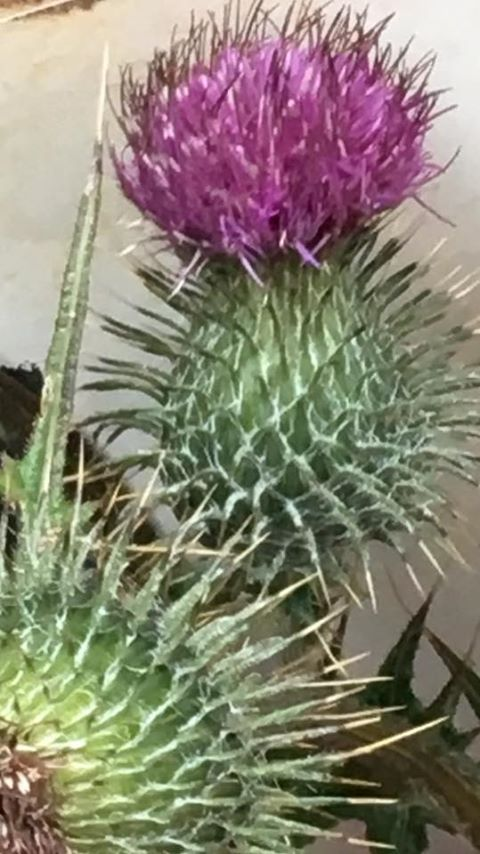 Strong as a thistle
