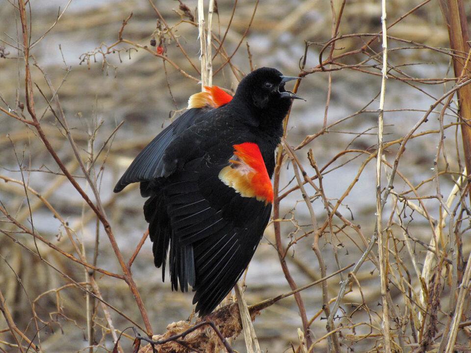 Blackbird Pt - Red-winged Blackbird m