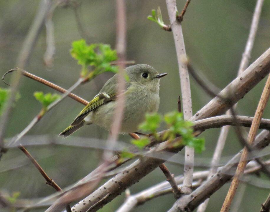 Blackbird Pt - Ruby-crowned Kinglet
