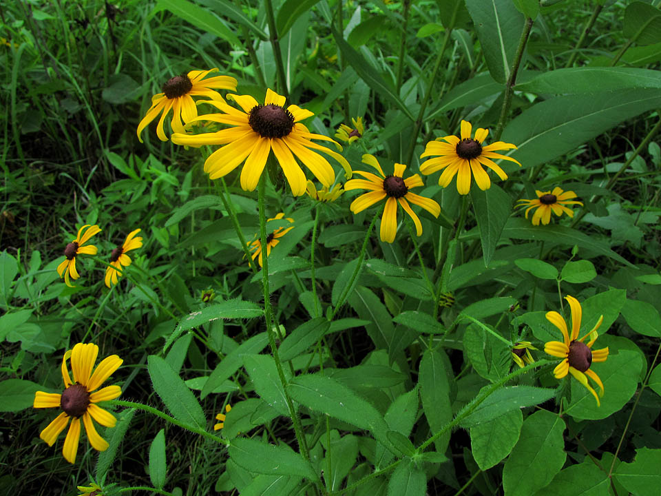 Forest Avenue - Black-eyed Susan 7-11-10