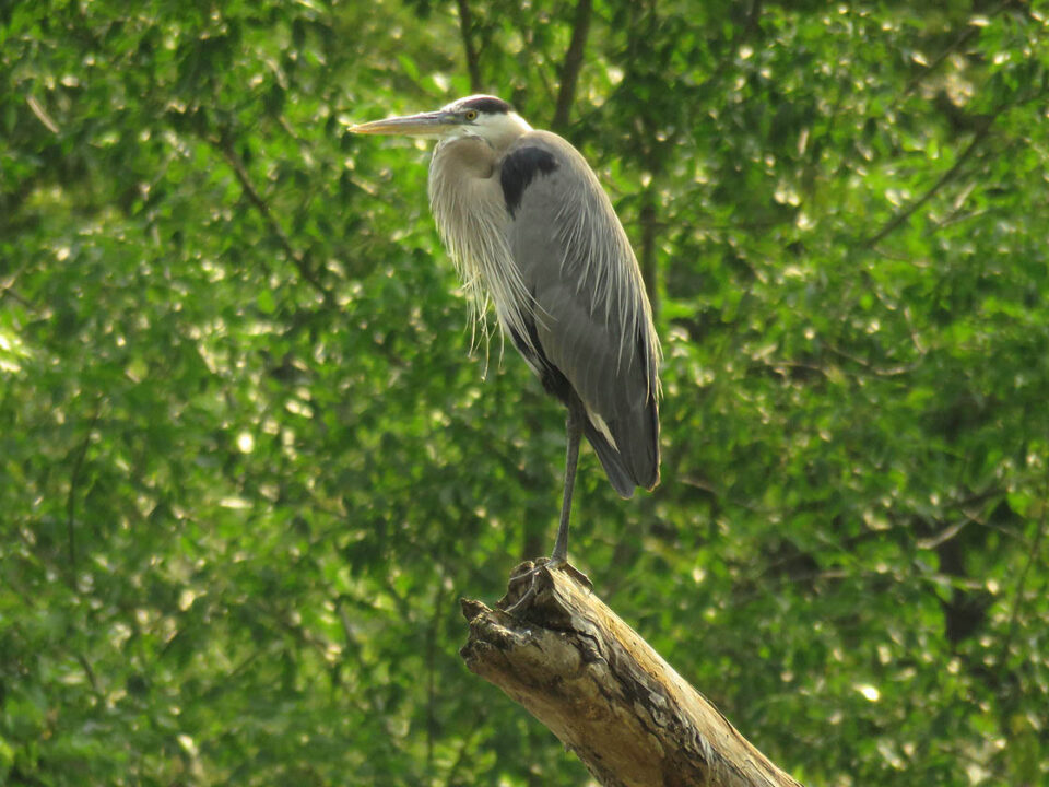Great Blue Heron 7-2-15a