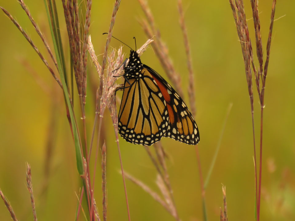 Guskey-Miller 9-3-15 Monarch