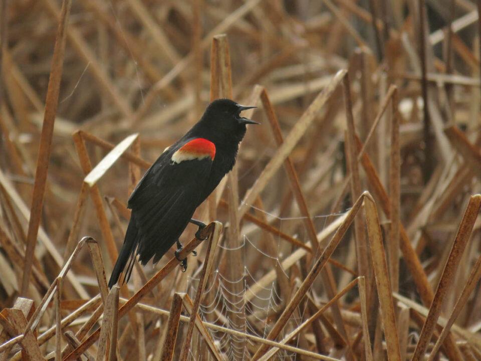 Red-w Blackbird m 2020 4-28 Princeton - bridge trail 9613