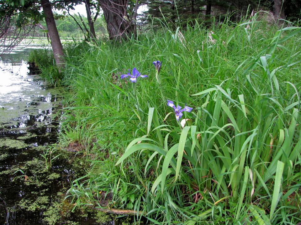 Sugar Island 6-3-10 - Wild Irises on shoreline
