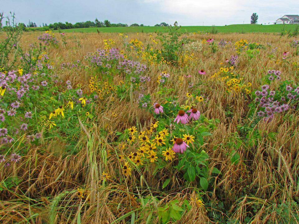 Tuleta Hill Prairie flowers1 7-27-11 sm