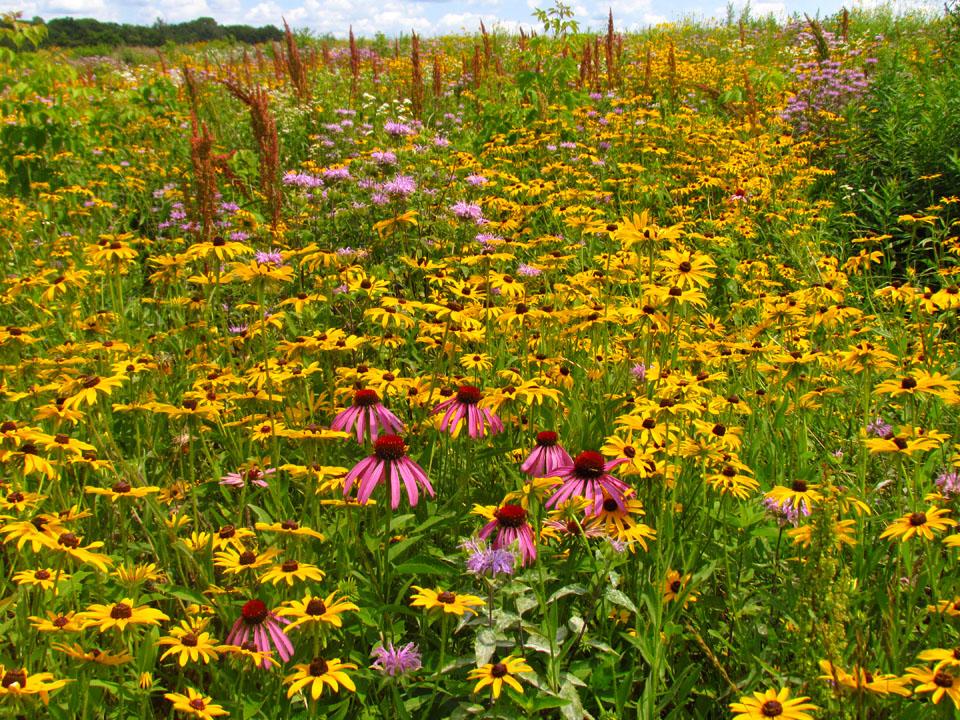 Tuleta Hill prairie 7-17-14 blooming1