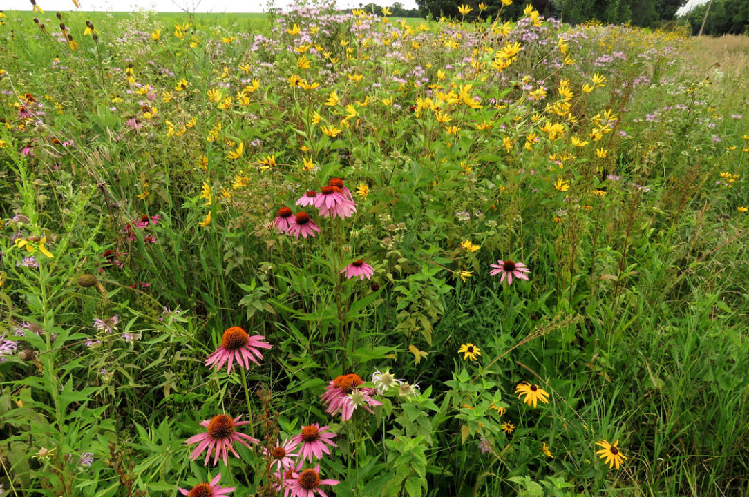 Tuleta Hill prairie 7-29-16 Purple Coneflowers etc3