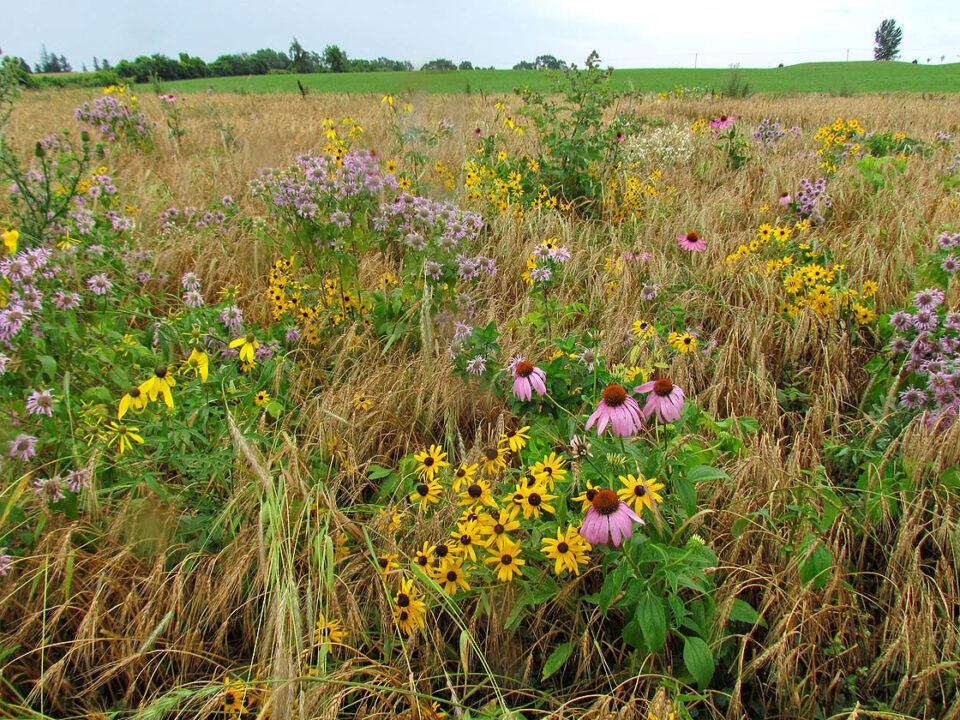 Tuleta Hills Prairie 7-27-11 flowers