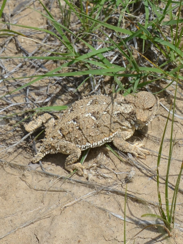 Horned-Toad-600x800