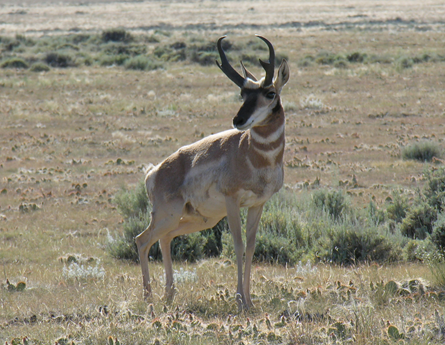 Partnered with the BLM and the local Audubon chapter to remove the bottom two strands of barbed wire from the HMA fences, which enabled the antelope to complete their migration.
