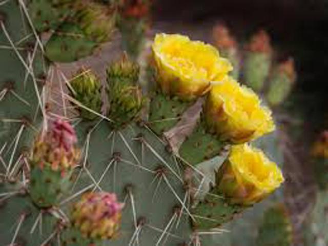 Prickly-Pear-640x480