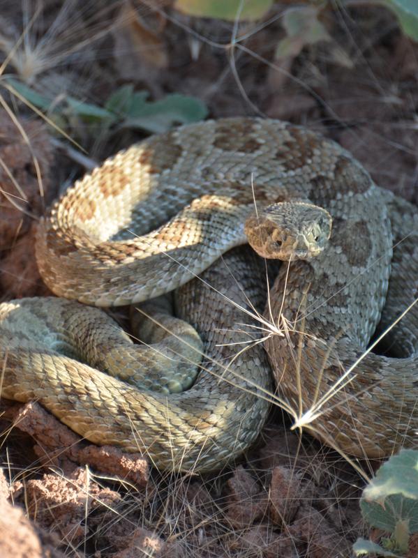 Rattlesnake-600x800
