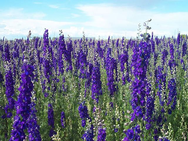 larkspur_purple-640x480