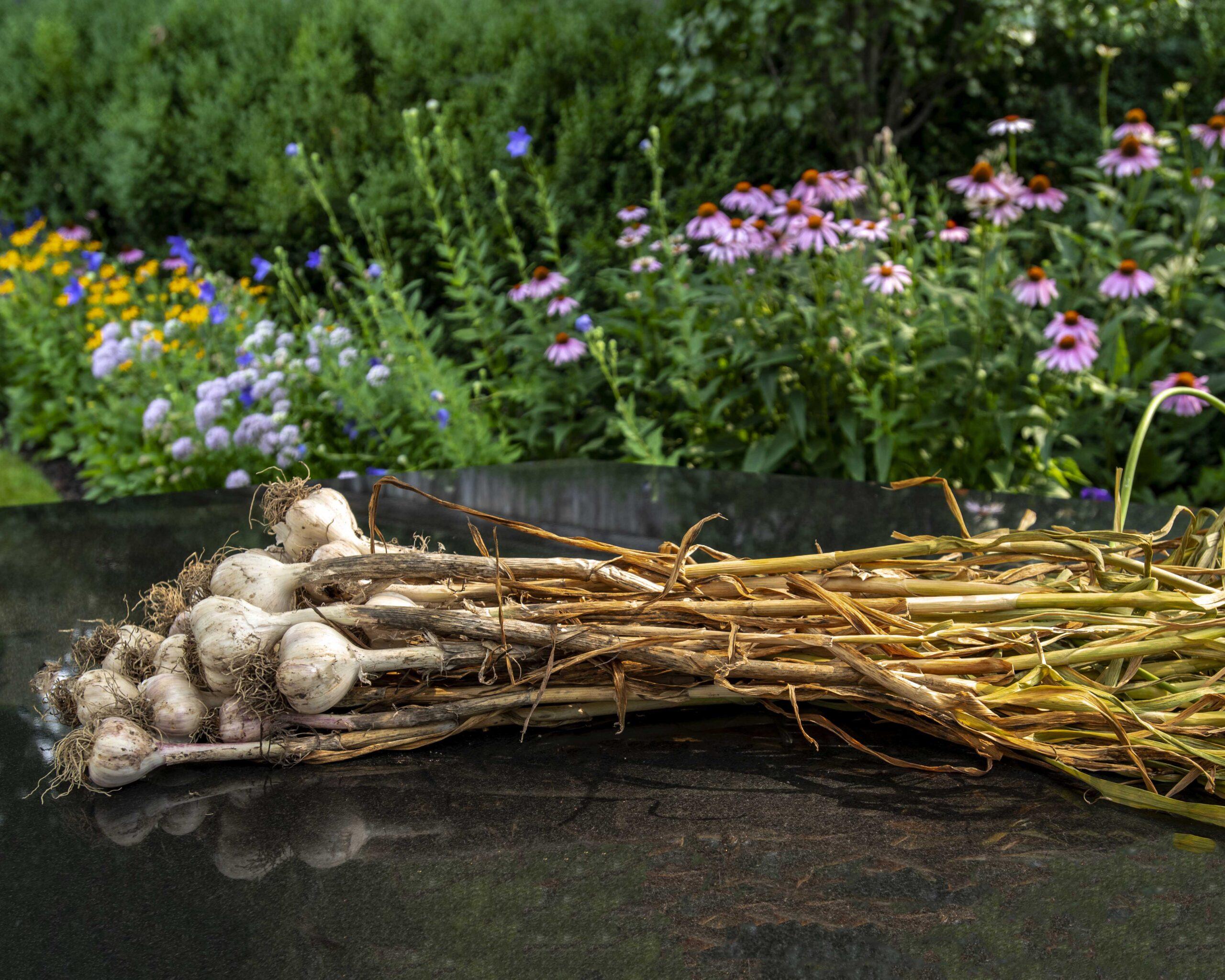 How to grow garlic