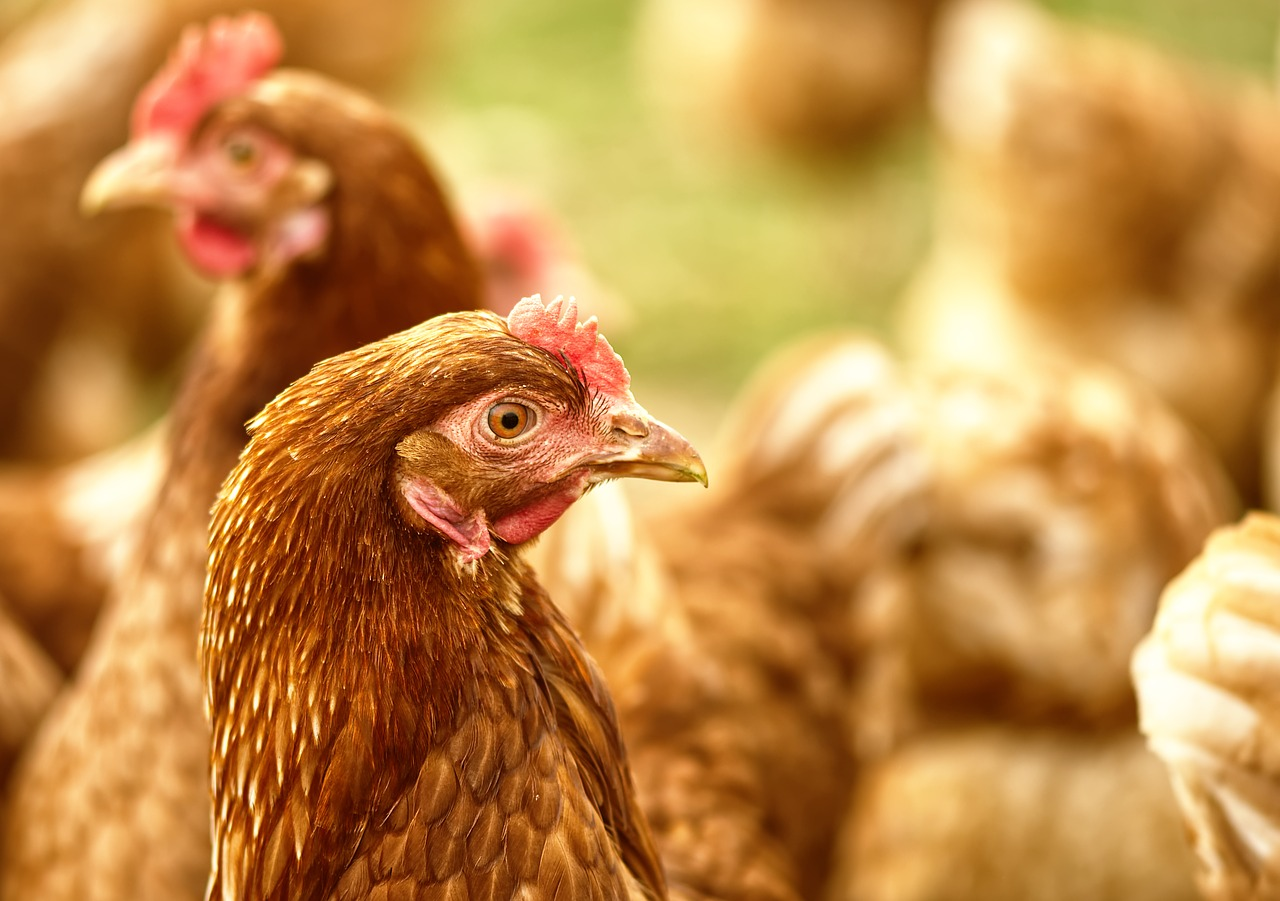 Bay Area at risk of Chicken Disease Spreading