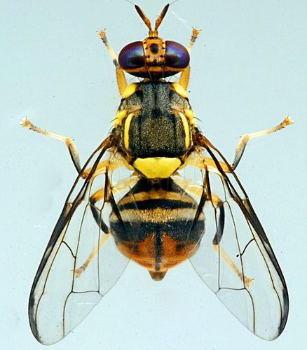 Sacramento Could have Issues with Invasive Oriental Fruit Flies Again