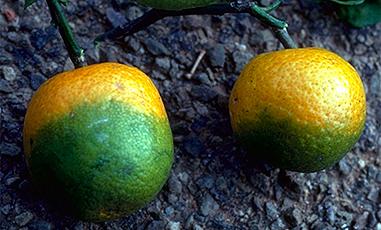 Citrus Disease Reaches San Bernardino County