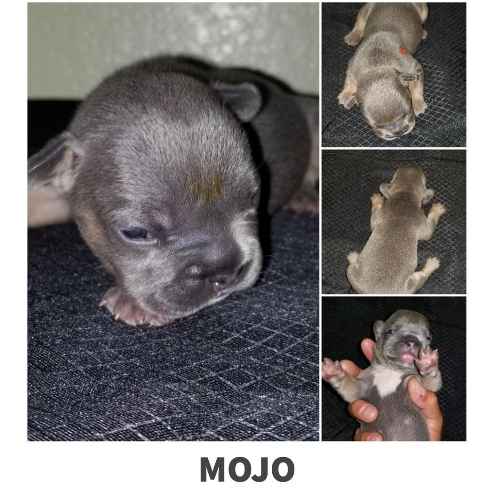 Mojo French Bulldog puppy