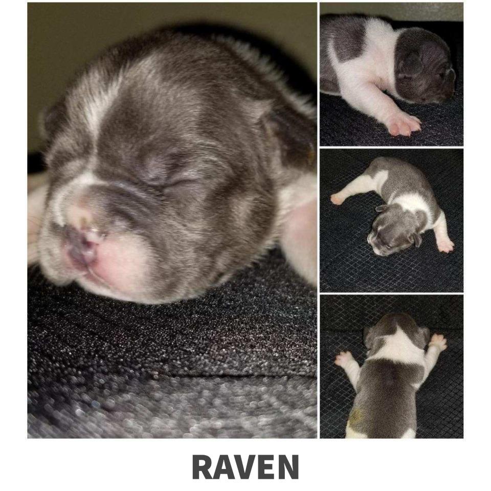 Raven French Bulldog puppy