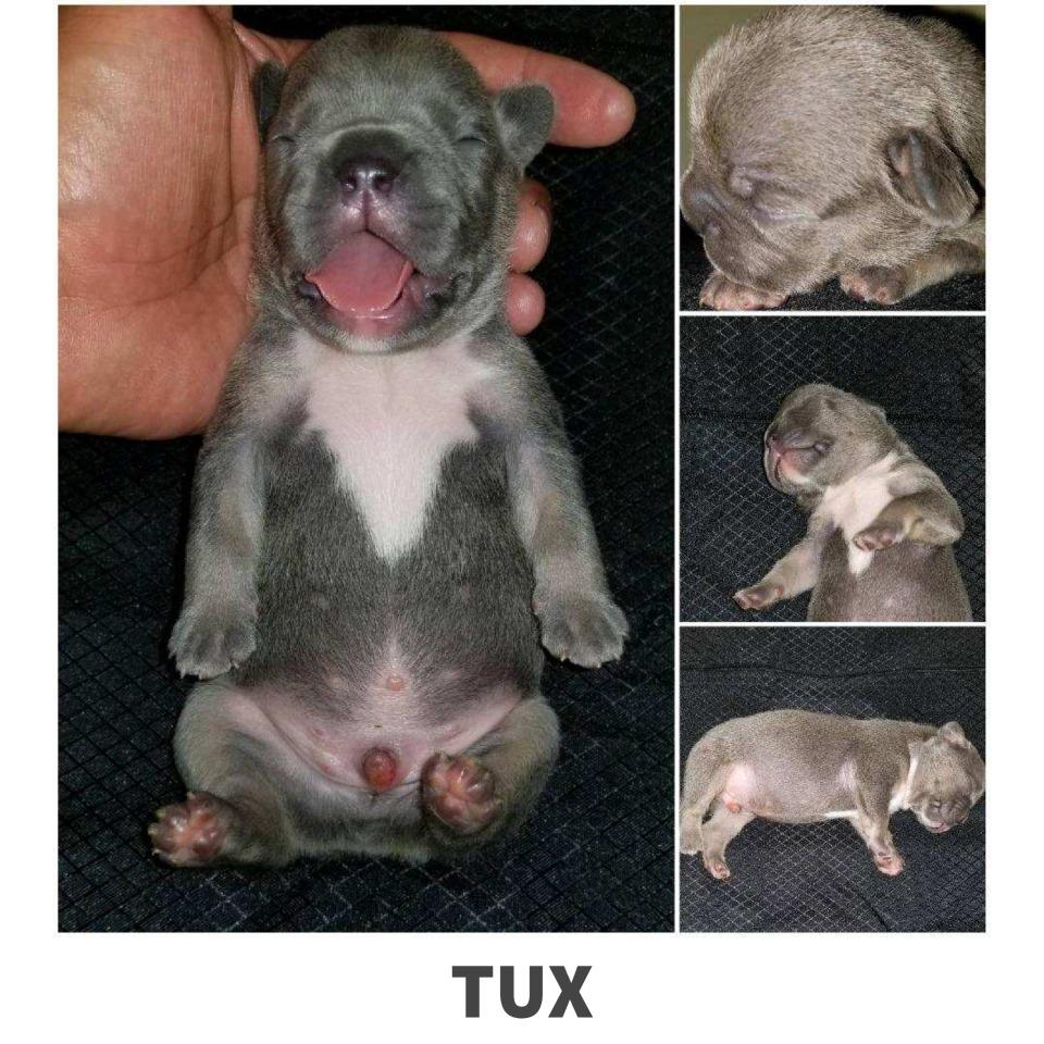 Tux French Bulldog puppy