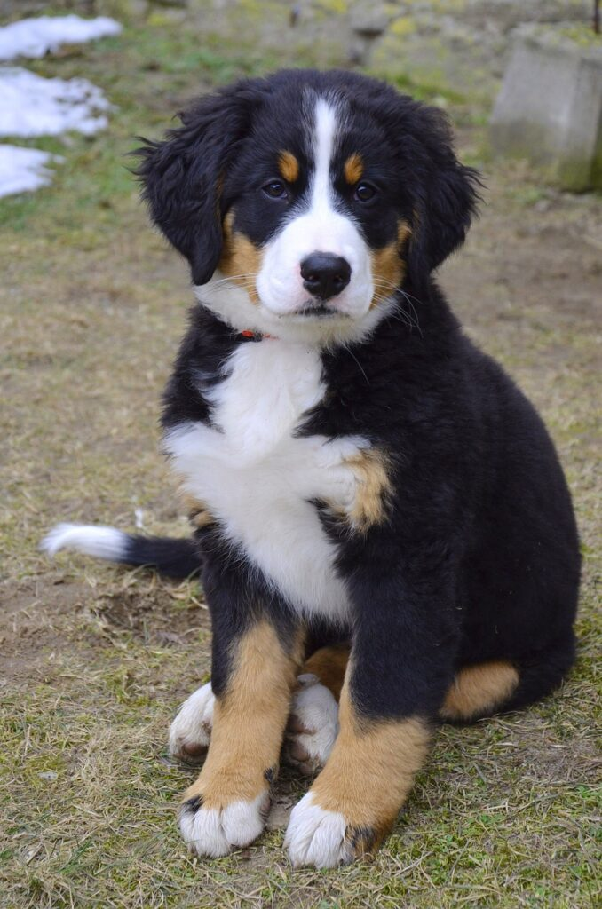 puppy, bernese mountain dog, dog